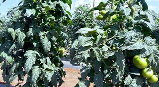 promip manejo integrado pragas controle biologico mip experience monitoramento pragas tripes tomateiro capa mobile